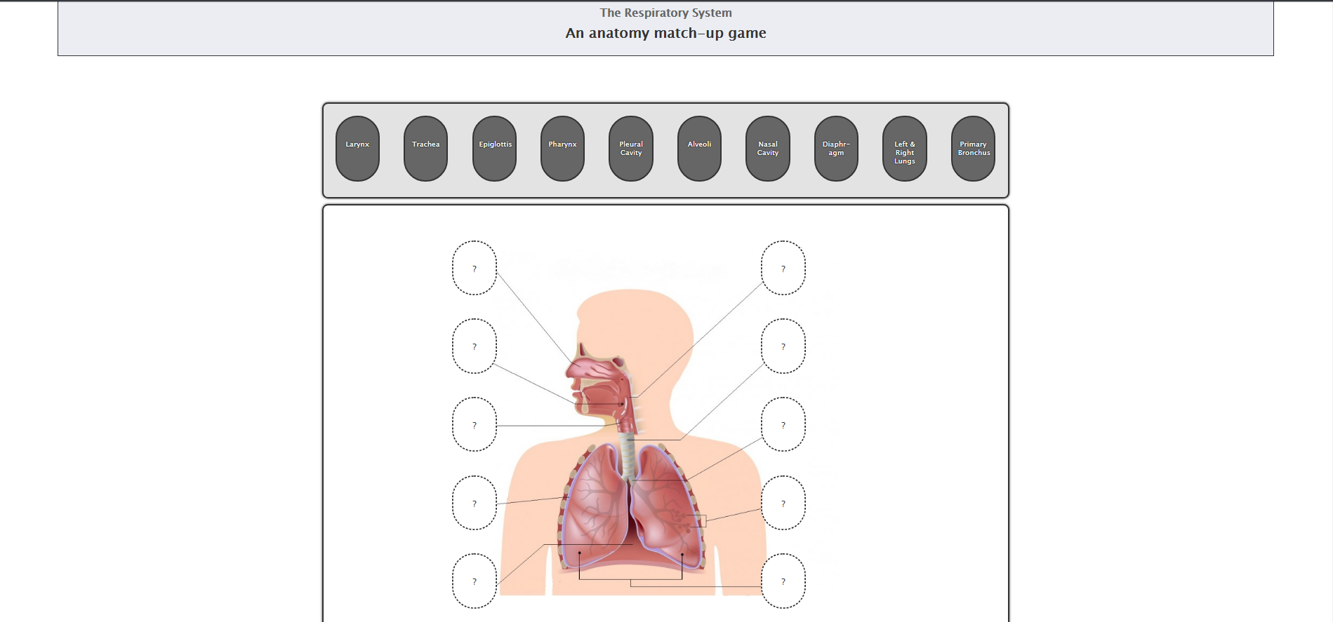 Respitory System Anatomy – Educational, interactive diagram